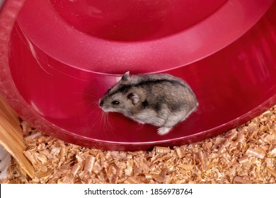 Campbell's dwarf hamster of the species Phodopus campbelli running on the wheel