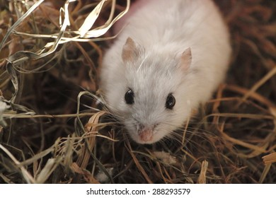 981431a2c4f Campbell s Hamster in the straw