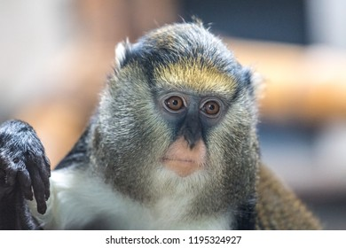 The Campbell's mona monkey (Cercopithecus campbelli), also known as Campbell's guenon.