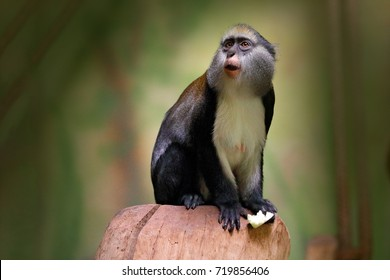 Campbell's mona monkey or Campbell's guenon monkey, Cercopithecus campbelli, in nature habitat. Primate from Ivory Coast, Gambia, Ghana.