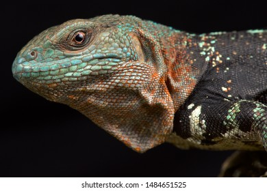 Campeche spiny-tailed iguana (Cachryx alfredschmidti)