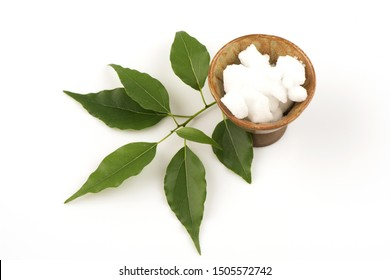 Camphor, branch Has medicinal properties and on a white background.
