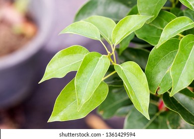 Camphor, green leaves on nature background.