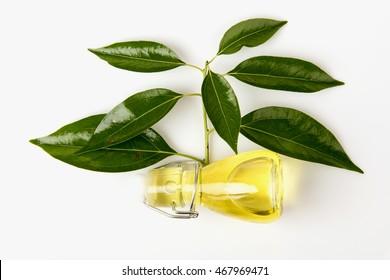 Camphor, Gum Camphor, Formosan Camphor, Laurel Camphor (Cinnamomum camphora (L.) J.Presl) tree and oils.