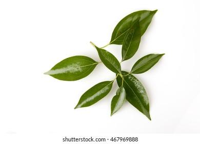 Camphor, Gum Camphor, Formosan Camphor, Laurel Camphor (Cinnamomum camphora (L.) J.Presl) leaves.