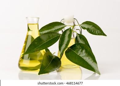 Camphor, Gum Camphor, Formosan Camphor, Laurel Camphor (Cinnamomum camphora (L.) J.Presl) leaf and oil.
