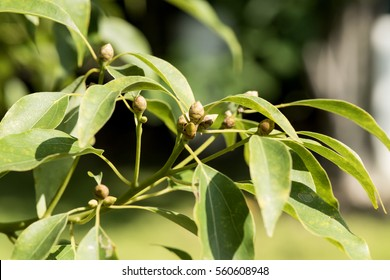 Camphor, Gum Camphor, Formosan Camphor, Laurel Camphor, tree.