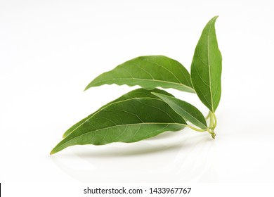 Camphor, Gum camphor, ,green leaves on white background.