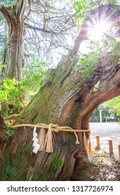 The camphor tree called 'Amagoi no Kusu', which means 'Rain making camphor tree' in English, at Oyamazumi Shrine. Since it is said that it lives over 3000 years, It is treated as a natural treasure.