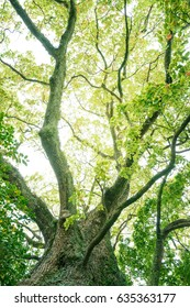Camphor tree in the forest