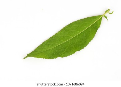 Camphor Tree green leaves have property medicine.