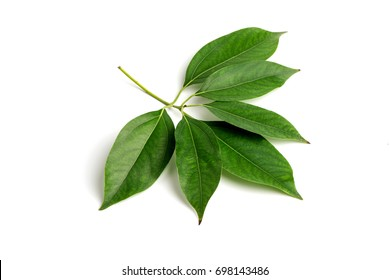 Camphor Tree, green leaves on white background.