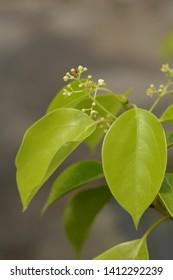Camphor tree - Latin name - Cinnamomum camphora