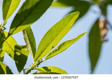 Camphor Tree, on natural background.
