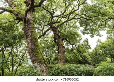 camphor trees,