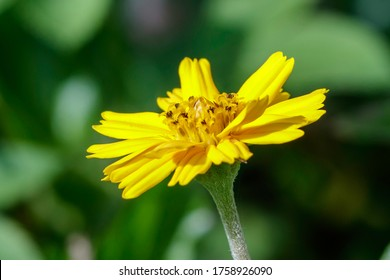 Camphorweed (Heterotheca subaxillaris) is a Florida native weed with a butterfly, bee and dragonfly yellow flower bloom common in dry sandy areas in Miami-Dade, Palm Beach and Broward County.