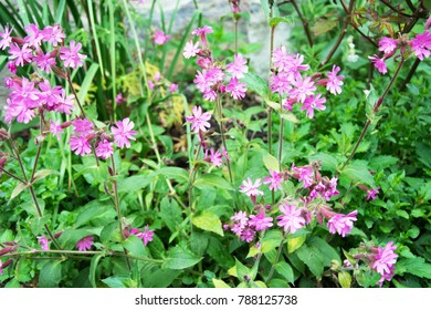 Campion Sweet William flowers