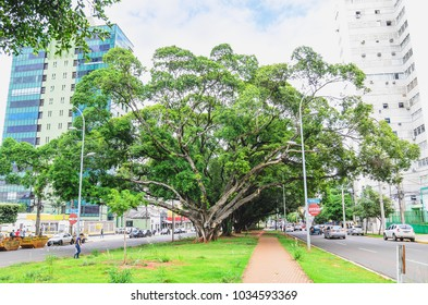 Campo Grande, Brazil - February 24, 2018: Large centenary trees on the center of the main avenue Afonso Pena with a pedestrian sidewalk, buildings and cars around on the city downtown.