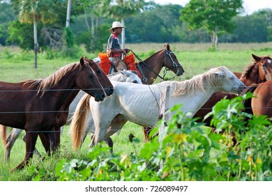 CAMPO GRANDE, MATO GROSSO DO SUL, BRAZIL - OCTOBER 21, 2006. Pantanal cowboy (Pantanero) herding young horses in the typical Pantanal landscape. Note the orange saddle pad, which is traditional here.