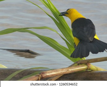Campo oriole or Campo troupial (Icterus jamacaii) is a species of bird in the family Icteridae.  Amazon river, Brazil