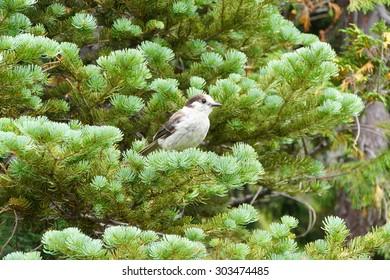 Camprobber - the Gray Jay or whiskey jack, ( Perisoreus canadensis ), Mount Rainier National Park