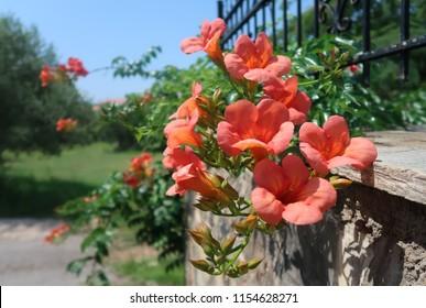 Campsis grandiflora - Trumpet vine