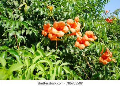 Campsis radicans trumpet vine or trumpet creeper red flowers with green foliage