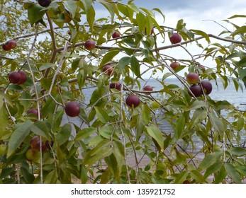 Camu-Camu bushy with ripe fruits (Myrciaria dubia) on the Rio Negro riverside, Amazonas, Brazil