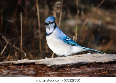 Canada bird, blue jay, perched on branch