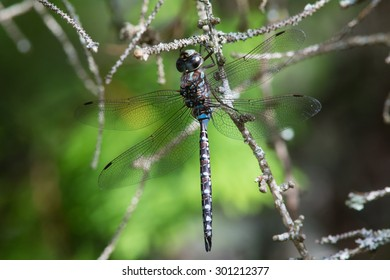 Canada Darner dragonfly hanging from a branch in a bog.