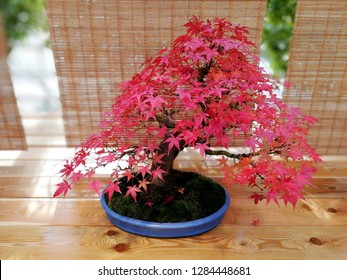 Canada Day bonsai maple tree leaves background. Symbol of Canada Day 1st July. Happy Canada Day maple little leaves. Bonsai tree branch with maple tiny leaves. Red tree leaves in Japan bonsai garden