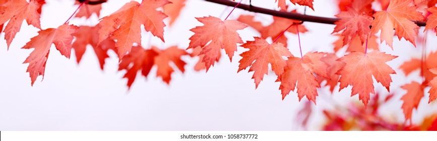 Canada Day maple leaves background. Symbol picture for Canada Day 1st July. Happy Canada Day real maple leaves in shape of Canadian Flag. Branch with maple leaves. Best picture of maple leaves.