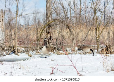 Canada geese arriving early in Quebec, Canda with snow still on the ground.