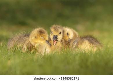 Canada Geese Babies