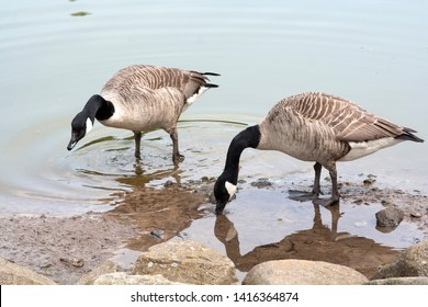 Canada geese - Branta Canadensis feeding, Perthshire, Scotland