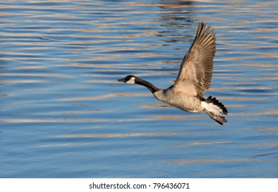 Canada geese (Branta canadensis) flying over blue water, Saylorville Lake, Iowa, USA