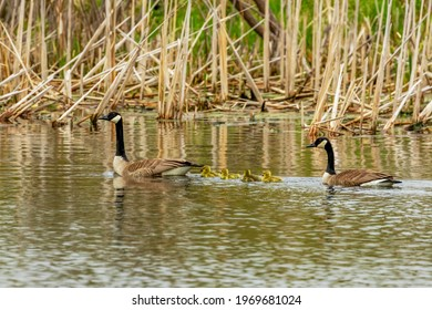 The Canada geese (Branta canadensis) with goslings
