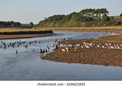 Canada geese at Budleigh Salterton, Devon, UK