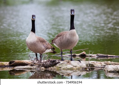 Canada Geese by the Pond at Malden Park