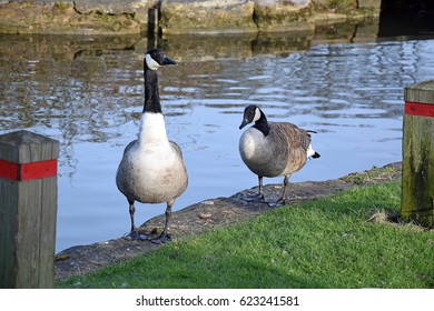 Canada geese in Canal bank in England