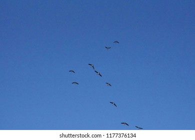 Canada geese flying in formation over the Crooked River trail,Redmond, Oregon