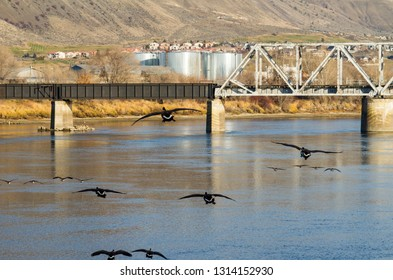 Canada geese flying over South Thompson River with CN railway bridge in the background at Riverside Park, Kamloops, British Columbia, Canada