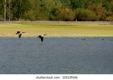Canada Geese flying over water.