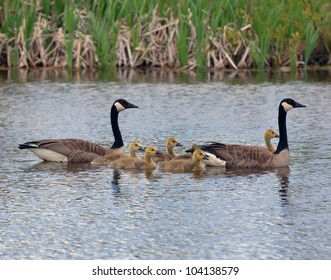 Canada geese with goslings swimming
