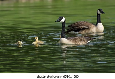 Canada Geese and goslings swimming in lake