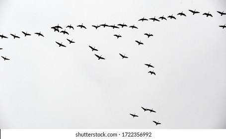 canada geese migration in the sky