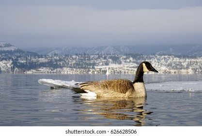 Canada Geese on Okanagan Lake