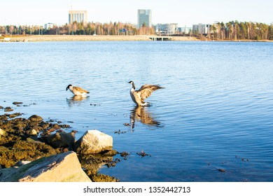 Canada geese on the shore of Westend, Espoo, Finland