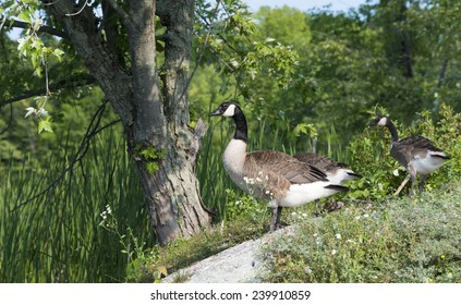 Canada geese on the shoreline of a northern lake