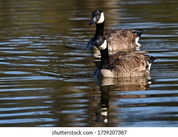 Canada Geese pair floating on a local pond.